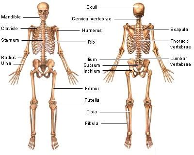 How Diet & Exercise Affect the Skeletal System Healthfully
