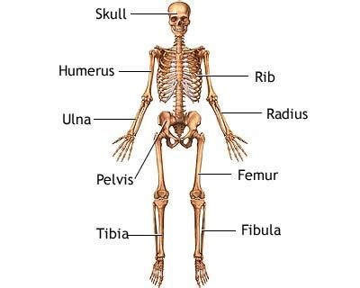 Our skeletal system essay
